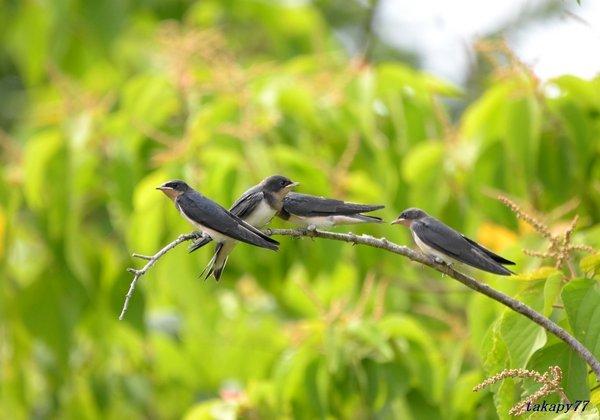 ツバメ幼鳥1806ah57.jpg