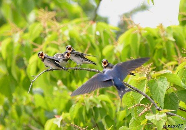 ツバメ幼鳥1806ai45.jpg