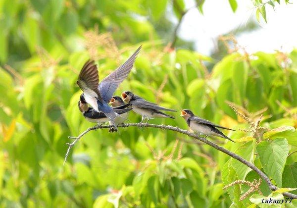 ツバメ幼鳥1806aj45.jpg