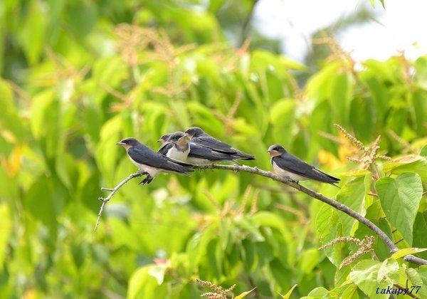 ツバメ幼鳥1806al45.jpg