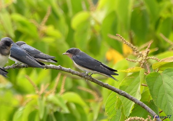 ツバメ幼鳥1806ar25.jpg