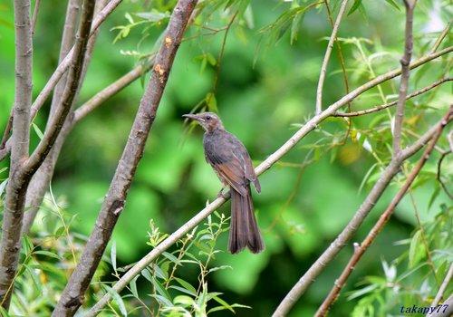 ヒヨドリ幼鳥1708aa57.JPG