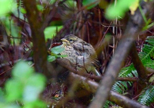 ホオジロ幼鳥1507aa.jpg