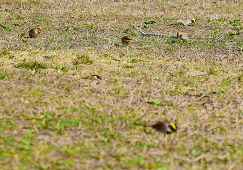 ミヤマホオジロ1502cha1.jpg