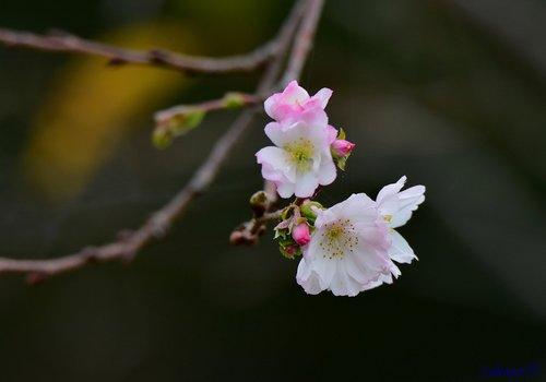 十月桜1710aa45.jpg