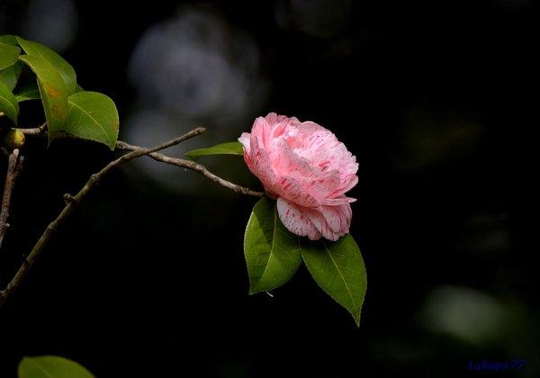 咲き分け椿1804aa50.jpg