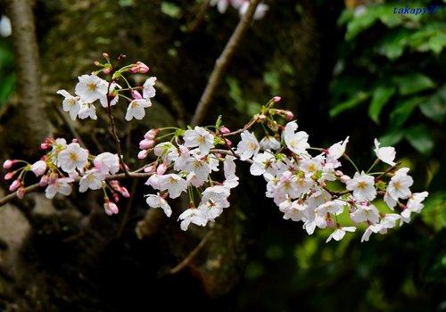 桜1704ca.jpg