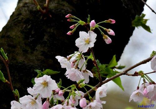 桜1704cb.jpg