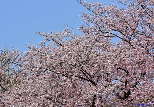 桜1704fa.jpg