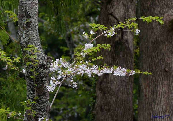 桜1904bb57t.jpg